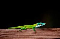 Wall lizard. Oak Ridge. Roatán. Bay Islands. Honduras