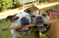 Two English bulldogs.