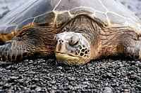 Green sea turtle, Chelonia mydas, resting on shore, Black Sand Beach, Big Island, Hawaii, USA