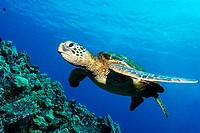 Green sea turtle, Chelonia mydas, Kailua-Kona, Hawaii, (Pacific)