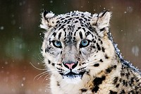 Snow Leopard or Irbis (Uncia uncia) in winter at snowfall