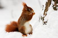 Red Squirrel (Sciurus vulgaris) eats a nut in winter