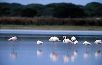 Greater Flamingos (Phoenicopterus ruber). Doñana National Park. Huelva province, Spain