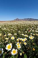 Blooming daisies, Cuchillos, Fuerteventura, Canary Islands