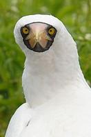 Masked Booby, (Sula dactylatra).