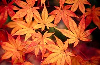 A view of autumn leaves at Eikando temple, one of Kyoto´s best fall viewing places. Kyoto city. Kyoto. Japan.