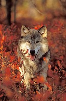 USA, Minnesota, Northern Woods, A Gray Wolf (Canus lupus) running along a trail forest in Autumn.