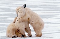 Canada, Manitoba, Churchill Polar bear mother with cub (Ursus mritimus)