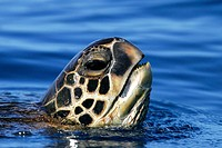 Adult Green Sea Turtle (Chelonia mydas) surfacing (head detail) off the coast of Maui, Hawaii, USA. Paific Ocean.