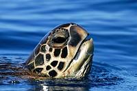 Adult Green Sea Turtle (Chelonia mydas) surfacing (head detail) off the coast of Maui, Hawaii, USA. Paific Ocean.