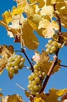 Wineyards. Val di Funes. Trentino-Alto Adige, Dolomites, Bolzano province , Italy.