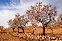 Almond trees. Almeria  province, Andalusia. Spain