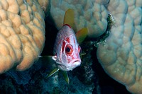 Sabre squirrelfish, Sargocentron spiniferum,  Ailuk atoll, Marshall Islands, Pacific
