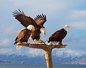 Three American Bald eagles on a beatiful perch with snow and mountains along the Kenai Peninsula. Early spring. Alaska. USA.