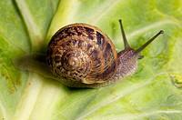 Garden snail (Helix aspersa). Britain.