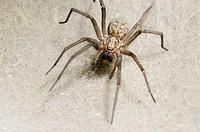 House spider (Tegenaria domestica) on web. Britain.