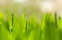 Wheat grass.