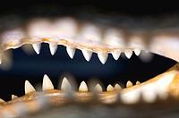 Detail of [legally harvested] preserved alligator head.