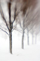 Row of trees in snowstorm, SLC, Utah. USA.