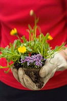 Gardener´s hand ready to plant mixed flower starts.