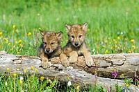 Wolf cubs looking over log. Montana, USA