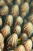 Hard coral detail (Acropora sp.) and christmas tree worm. Ha´apai Group, Tonga. South Pacific Ocean.