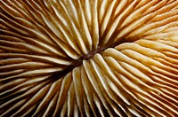 Mushroom coral detail (Fungia sp.). Ha´apai Group. Tonga. South Pacific Ocean.