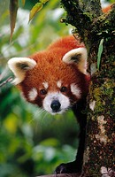 Red panda, captive. Darjeeling zoo. India.