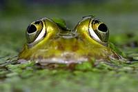 Edible Frog, Rana esculenta. Schleswig-Holstein, Germany