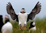 Puffin landing on the Farne Islands, Northumberland, England, UK