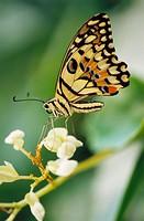 Swallowtail butterfly (papilio demdeus).