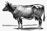 Cow. Antique drawing, ca. 1900.