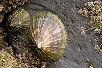 Common Limpet (Patella vulgata) on rock. Close up. Cornwall , England , UK