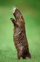 South American Nutria (Myocastor coypus)