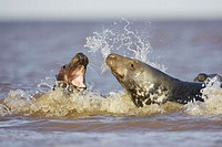 Grey Seal (Halichoerus grypus) sub-adults play-fighting in sea. North Lincolnshire, UK. November 2005.