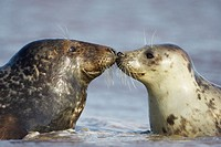 Grey Seal  (Grypus halichoerus) male & female nose to nose. North Lincolnshire, UK. November 2005.
