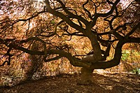 Japanese Maple contorted trunk, backlit fr below, spring (Acer palmatum ´Dissectum´). Kubota, Seattle, Washington. USA