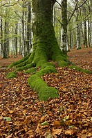 Beech wood. Sorogain. Navarra. Spain.
