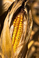 Illinois, McHenry County, ripe ear of corn with shucks pulled back on corn stalk, gold kernels