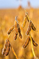 Wisconsin, Kenosha County Soybeans ready for harvest in midwest field, closeup of pods and stems