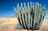 Euphorbia virosa. Namibia