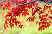 Japanese Maple. Acer palmatum. November 2006. Maryland, USA