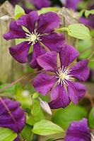 Clematis ´Etoile Violette´ (Clematis viticella). McClendon, Bellingham. Washington, USA