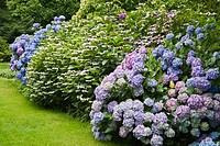 Massed Hydrangea border [Hydrangea macrophylla ´Niedersachsen´; H. m. ´Heinrich Seidel´; H. m. ´La France´; H. m. ´Strafford´]. Van Dusen. Vancouver, ...