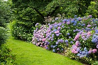 Hydrangeas under Magnolias, bordered by grass path [Hydrangea macrophylla cvs.; Magnolia cvs.]. Van Dusen. Vancouver, British Columbia. Canada
