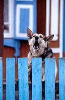 A barking dog behind a blue fence. Ufa. Bashkortostan. Russia.