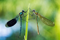 Banded Demoisells (Calopteryx splendens) pair on plant in morning dew