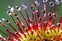 Tentacles of Roundleaved Sundew (Drosera rotundifolia) close_up _ Carnivorous plant