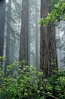 Pacific Rhododendrons (Rhododendron macrophyllum) and Redwoods (Sequoia sempervirens) in fog. Redwood National Park. California. USA