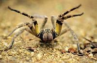 Phoneutria sp., Wandering spider, Araneida: Ctenidae, Guarapari, Espirito Santo. Brazil.